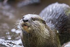 Next otter portrait (Tambako the Jaguar) Tags: portrait face water looking upwards otter cute jonskleinefarm kallnach zoo bern switzerland nikon d4