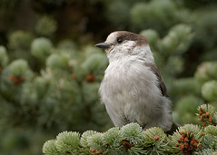 Gray Jay (N_A_Waters) Tags: canada bird nature animal wildlife corvid
