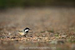 DSC_1207-2 (nigelsnell) Tags: birds cairnwood bird coaltitparusater ononesoftware photo10