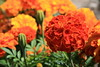 French Marigold (33/52) (Stu.G) Tags: tagetes patula tagetespatula french marigold frenchmarigold canoneos400d canon eos 400d canonefs1855mmf3556 efs 1855mm f3556 england uk unitedkingdom united kingdom britain greatbritain project52 project 52 project522016 7aug16 7thaugust2016 7th august 2016 august2016 7thaugust 7816 70816 07082016 flower dunchurch warwickshire dunchurchvillage dunchurchwarwikshire village d europe eosdeurope
