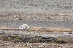 Longyearbyen Reindeer 2016 Lauri Novak (LauriNovakPhotography) Tags: arctic longyearbyen travel wildlife reindeer animal norway spitsbergen
