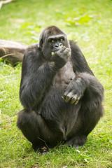 2016-07-11-10h52m17.BL7R5961 (A.J. Haverkamp) Tags: canonef100400mmf4556lisiiusmlens duisburg nordrheinwestfalen germany westelijkelaaglandgorilla gorilla momo dob03061982 pobstuttgartgermany zoo dierentuin httpwwwzooduisburgde