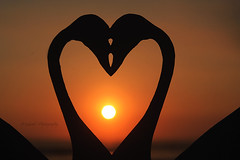 True love (Juan Gabriel Escobedo Robles) Tags: truelove paper love romance inlove sunset beach romantic swans cisnes animals birds