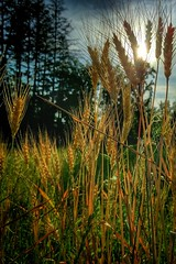 Beautiful warm summer evening, the Dawes arboretum (Raji Vathyam) Tags: columbus sunset ohio evening glow arboretum newark eveningsky dawes snapseed ohioexplored nexus5x