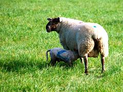 Ewe and Lamb (murtphillips) Tags: ewe lamb sheep countryside wexford kilbora springtime