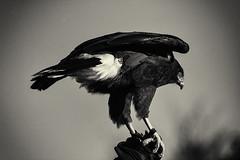 Aguililla de Harris (Mathias Bra) Tags: virado animal ave aguila