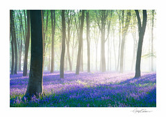 Micheldever Bluebell Dawn (George-Edwards) Tags: landscape micheldever bluebell bluebells wood woodland forest nature spring seasons dawn sunrise daybreak sunlight shadows mist fog trees beech leaves carpet blue flowers wildflowers wildlife outdoor scenic countryside rural hampshire uk 2014 georgeedwards photography nikon