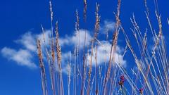 20160707 Lemberg Wiese (47) (j.ardin) Tags: deutschland germany allemagne alemania rheinlandpfalz lemberg wiese meadow lawn greenfield prairie pre prado blumen flower fleur flor blauerhimmel bluesky