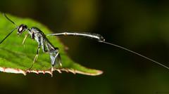Ichneumon - Gasteruption jaculator female (timz501) Tags: ichneumonwasp gasteruptionjaculator jersey