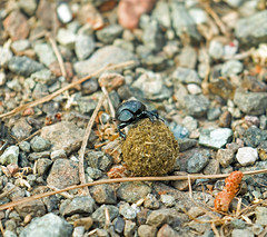 Dung Beetle with Dung Ball (suerob) Tags: dungbeetle insect scarab wild wildlife nature lesvos greece ball dung rolling bury