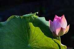 D5B_1221 護花使者 escort (愚夫.chan) Tags: 臺灣 taiwan 台北市 taipeicity 至善公園 蓮花 lotus 荷花 光 光影 螳螂 mantis 護花使者 escort 荷葉