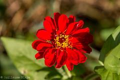 Zinnia - Domaine des Oiseaux (Darth Jipsu) Tags: calmont france languedocroussillonmidipyrnes fr domaine des oiseaux mazre fleur couleurs cosmos rouge orange rose