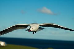 IMG_6271-2 (gsreejith) Tags: silvergull inflight birds birdinflight blue sky