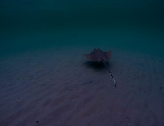 stingray in the afternoon (marcosborsatto) Tags: dive snorkel snorkeling thai thailand asia southeastasia underwater gopro blue colours turtle fish clowfish nemo diving