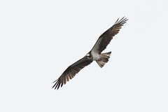 Osprey at Noah's (Steve Balcombe) Tags: bird birdofprey osprey pandion haliaetus inflight shapwickheath noahs avalonmarshes somerset levels uk
