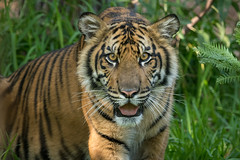 Suka in 3D! (ToddLahman) Tags: suka sumatrantiger sandiegozoosafaripark safaripark escondido cc canon7dmkii canon tigers tiger tigertrail tigercub teddy joanne eyelock lowlight