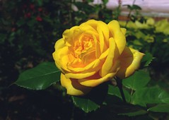 ... people indulging in negative thoughts only can harm us if we keep on carrying their words with us ... Ros Flowers Flower Fleurs Flores Flor Rosa Yellow    (Almena14) Tags: ros flowers flower fleurs flores flor rosa yellow