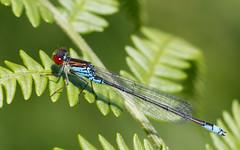 Small red-eyed damselfly m (Steve Balcombe) Tags: insect damselfly damsel fly small redeyed redeye odonata zygoptera erythromma viridulum male blue westhay moor nnr somerset levels uk