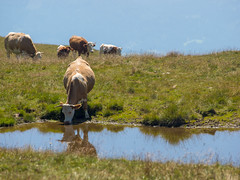 Millstatt - Nockgebiet (turbok) Tags: aktivitäten bergsee haustiere küherinder landschaft tiere urlaubmillstattseebodennockberge wasser c kurt krimberger