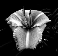 Black and White Lily (christiane.grosskopf) Tags: bw blackwhite blackandwhite sw schwarzweiss lily lilie gartenhermannshof weinheim germany deutschland sonyrx100m3 sonyrx100iii flower blume blühte blossom