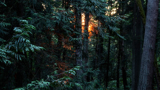 Deep Forest Sunset