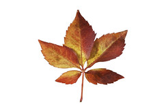 _MG_2620 (davidherraezcalzada) Tags: leaf nature natural closeup flora bright color forest plant orange texture environment maple isolated yellow autumn seasonal oak red fall golden organic park detail botany spring botanical garden foliage decoration scenic outdoor