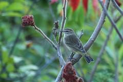 Palm Warbler (Rita Wiskowski) Tags: palmwarbler warbler songbird sheridanpark wisconsin cudahy park milwaukeecounty sumac fall migration nature urbanwildlife
