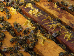 Bees. (M Ignacia Cruz) Tags: abejas bees honey animal nature