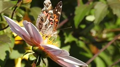 Painted Lady Butterfly on Pink Dahlia (AngelVibePhotography) Tags: nikon blossom closeup blossoms nature photography butterflies video garden arthropods butterfly outdoor dahlia pink colorful plant nikonp900 animal macro flowers insects flower insect paintedlady northcarolina