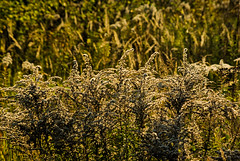Autum 2016 - 70 (Hejma (+/- 4800 faves and 1,5milion views)) Tags: poland beginningofautumn goldenrodhuge list flora grass tansy