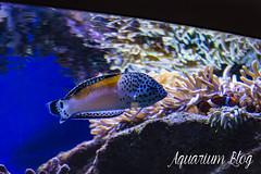 Coris aygula (AquariumBlog.es) Tags: acuario aquarium peces fish pez marino saltwater water freshwater dulce agua corales payaso clown sepia acantharus pterois pomacanthus barcelona arrecife reef