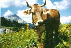 Postcrossing DE-5598779 (booboo_babies) Tags: cow summer mountains alps germany postcrossing
