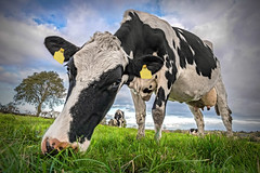 Long Nose (Alan10eden) Tags: holstein cow grass grazing muzzle nose paddock field outdoors frerange freisian blackandwhite dairy farm farmer agriculture ulster herd animal livestock bovine milk countyarmagh closeup portrait