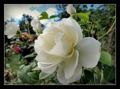 Rose 'White Parfum' (karin_b1966) Tags: blume flower blte blossom pflanze plant garten garden natur nature 2016 rosewhiteparfum yourbestoftoday