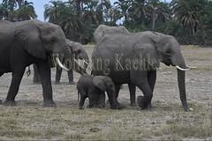 10076346 (wolfgangkaehler) Tags: 2016africa african eastafrica eastafrican kenya kenyan amboseli amboselikenya amboselinatlparkkenya amboselinationalpark wildlife mammal elephant africanelephant africanelephantloxodontaafricana herd babyanimal babyanimals babyelephant