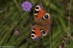 Peacock (Aglais io) (M Carmody Photography) Tags: aglaisio bogofallen markcarmodyphotography markcarmody aglais bog butterflies butterfly canon carmo carmopolice carmopolis carmody ireland kildare lepidoptera lullymore peacock small eyes flight insect io macro photography mc7d3908 devils bit scabious devilsbitscabious markcarmodyphotographycom hibernate winter autumn summer defence fly butter flutterby grass peatland allen flash wildlife irelandswildlife natural nature naturalheritage heritage conservation preserve resident beauty beatuiful
