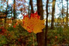 161010-16 Le Canada (clamato39) Tags: provincedequbec villedequbec qubec canada feuilles leafs mapleleaf rable nature arbre tree