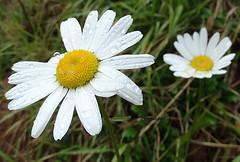 Daisies (Arlete M) Tags: margaridas daisies whiteflowers campos do jordosp raindrops