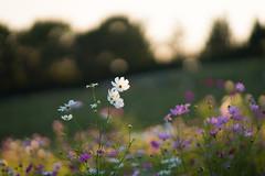 (qrsk) Tags: flower cosmos sunset twilight japan autumn