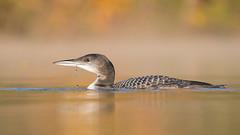 Jeune Plongeon Huard - Jeune Plongeon imbrin - Gavia immer - Great Northern Loon (Anthony Fontaine photographe animalier) Tags:
