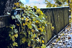 HFF (FrauN.ausD.) Tags: fencedfriday zaun baum efeu tree fence imperfect grn gelb yellow green herbst fall autumn