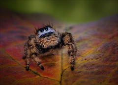 Poppa Can You Hear Me? (Kathy Macpherson Baca) Tags: animal animals spider jumpingspider phid arachnid bug creature nature wildlife fuzzy cute world planet earth web predator spiders