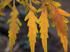 Sumac attack (lindakowen) Tags: sumac autumn gold fallcolors macro leaves