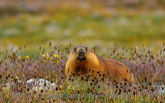 Himalayan marmot (Zahoor-Salmi) Tags: himalayan marmot zahoorsalmi salmi wildlife pakistan wwf nature natural canon birds watch animals bbc flickr google discovery chanals tv lens camera 7d mark 2 beutty photo macro action walpapers bhalwal punjab