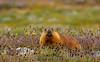 Himalayan marmot (Zahoor-Salmi) Tags: himalayan marmot zahoorsalmi salmi wildlife pakistan wwf nature natural canon birds watch animals bbc flickr google discovery chanals tv lens camera 7d mark 2 beutty photo macro action walpapers bhalwal punjab
