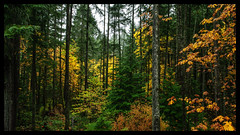 IMG_5881-Edit (bluecameraguy) Tags: canada canon5d canon 5d classic 5dc landscape vancouverisland bc cathedral grove fall