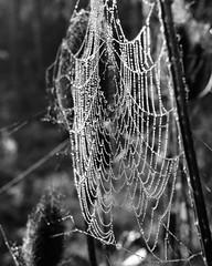 Cobweb with waterdroplets. (frankvanroon) Tags: cobweb spiderweb spinnenweb waterdroplet waterdroplets druppels nature bw blackandwhite blackwhite black white natuur closeup