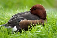 "Brilduiker (Bucephala clangula) "" In Explore "" (mia_moreau) Tags: explore miamoreau limburg zuidlimburg eend vogel watervogel sony nederland brilduiker bucephalaclangula bird"