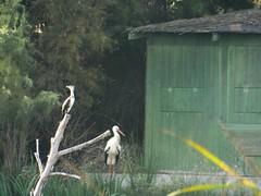 Long Distance ...  (Tricia in Granada, Espaa ....) Tags: longdistance cormorant stork birds outdoors charcadesuarez motril granada andalucia espaa