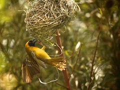 weaver does his best (peet-astn) Tags: weaver nest garden weaversnest destroy build